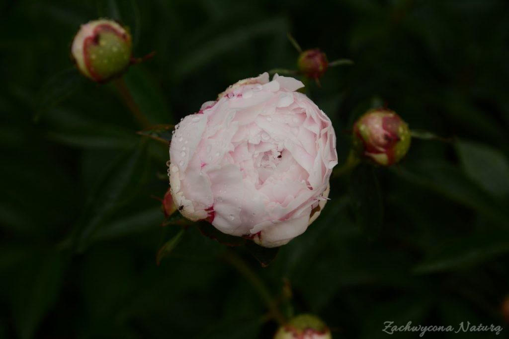 Piwonia - cesarzowa ogrodu (20)