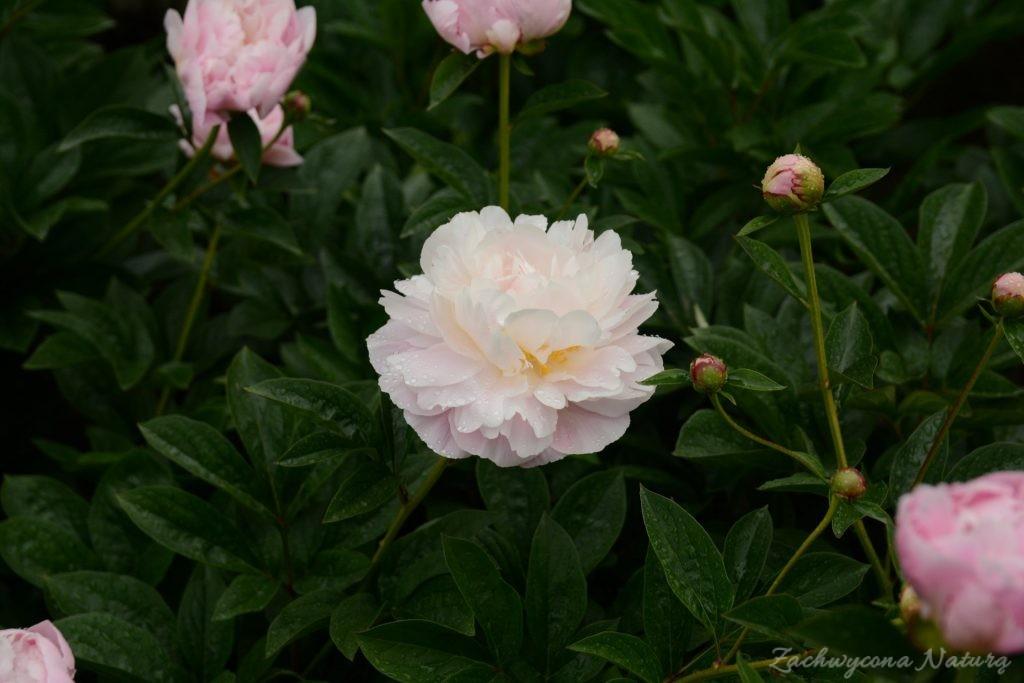 Piwonia - cesarzowa ogrodu (23)