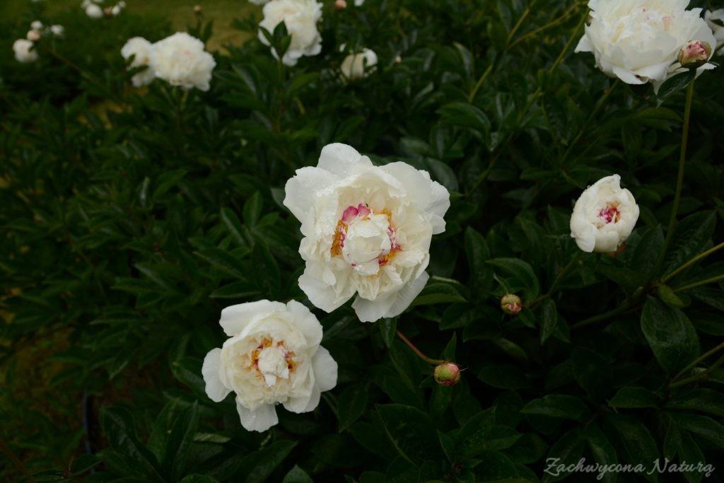Piwonia - cesarzowa ogrodu (24)