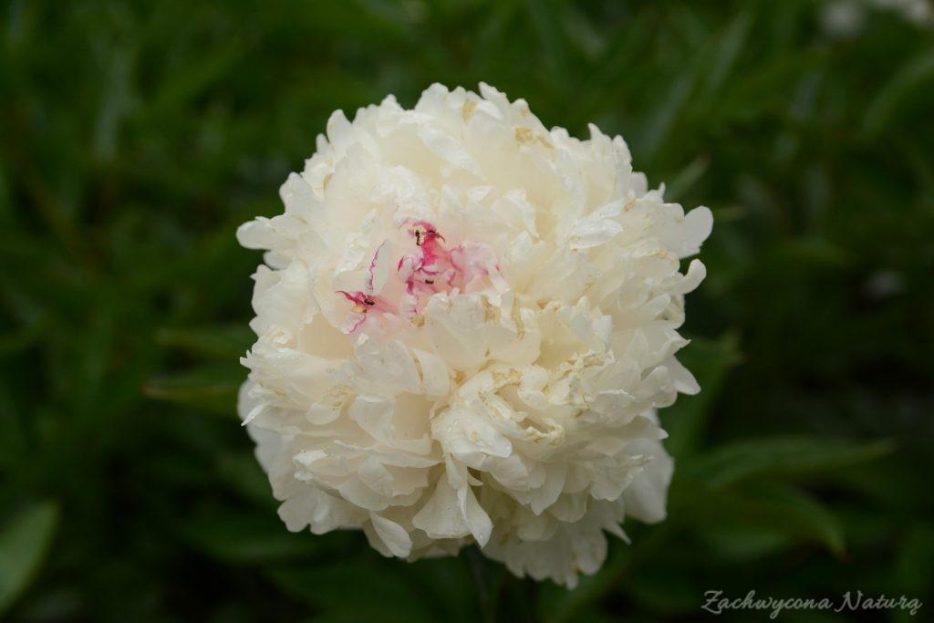 Piwonia - cesarzowa ogrodu (25)
