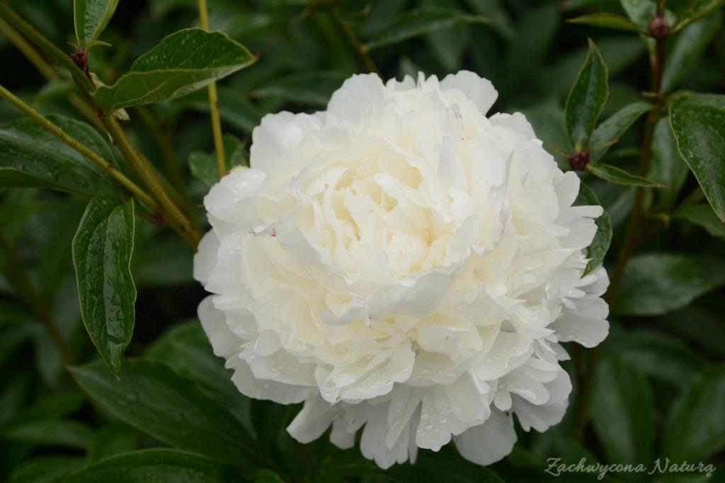 Piwonia - cesarzowa ogrodu (27)