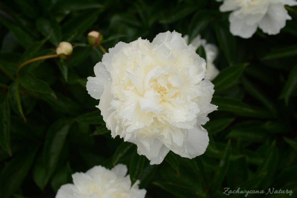 Piwonia - cesarzowa ogrodu (28)