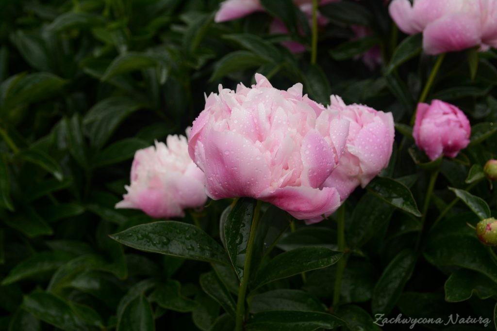 Piwonia - cesarzowa ogrodu (30)