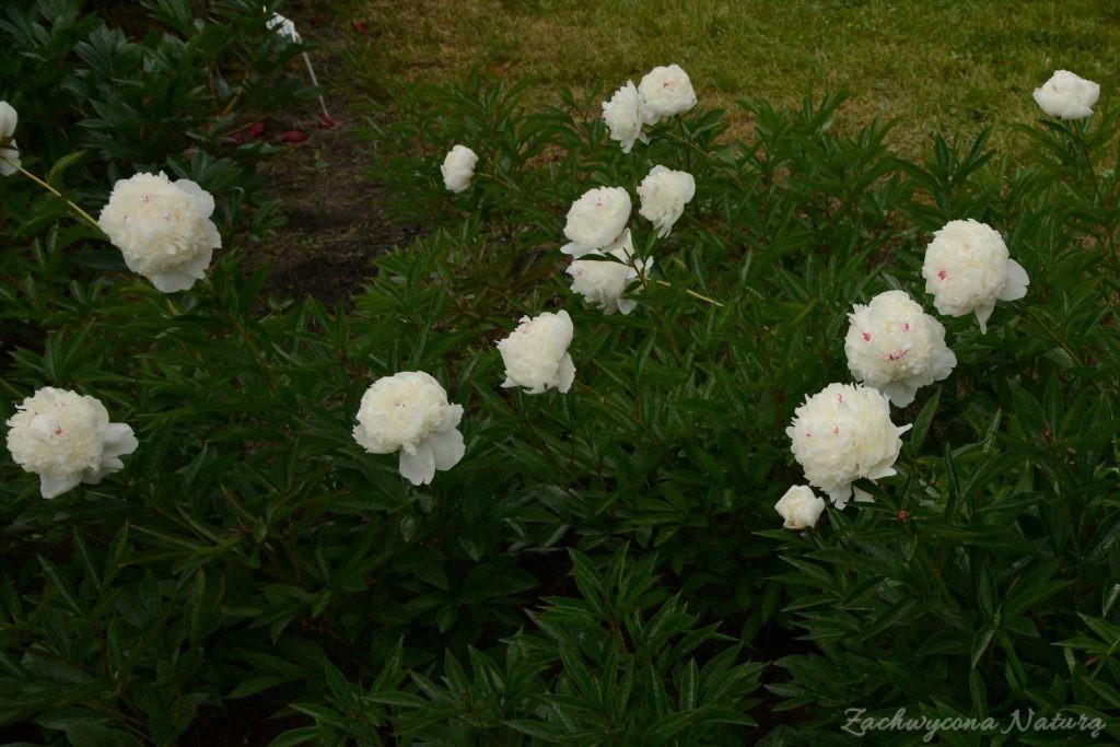 Piwonia - cesarzowa ogrodu (32)