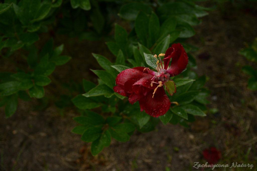 Piwonia - cesarzowa ogrodu (34)