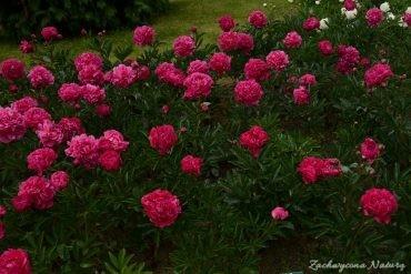 Paeonia lactiflora KANZAS
