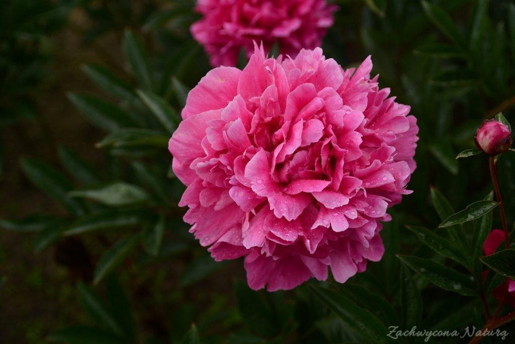 Piwonia - cesarzowa ogrodu (36)