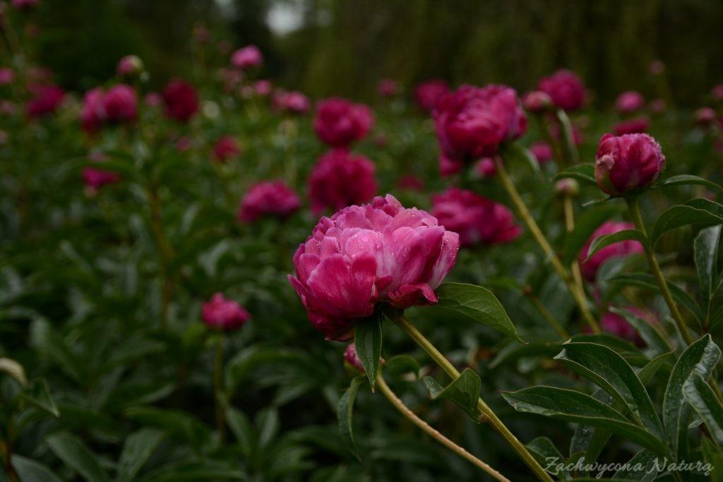Piwonia - cesarzowa ogrodu (4)
