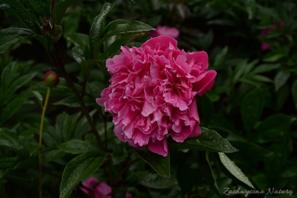 Piwonia - cesarzowa ogrodu (43)