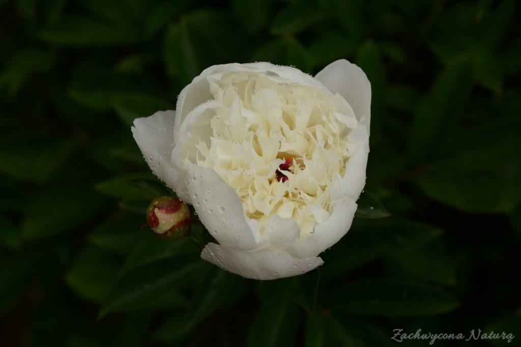 Piwonia - cesarzowa ogrodu (48)