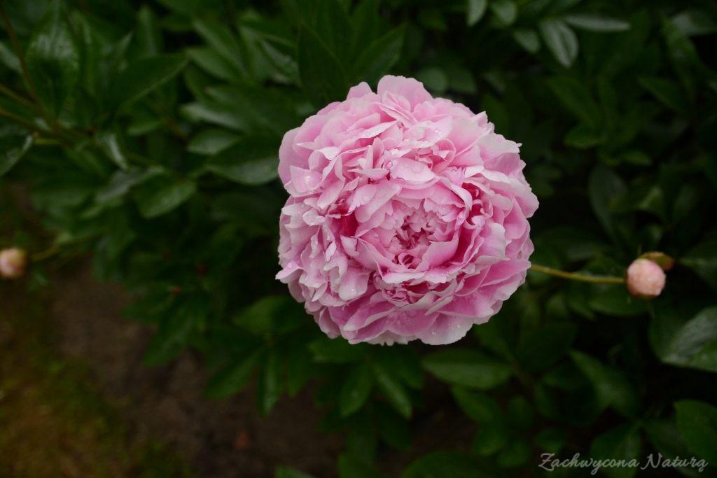 Piwonia - cesarzowa ogrodu (50)