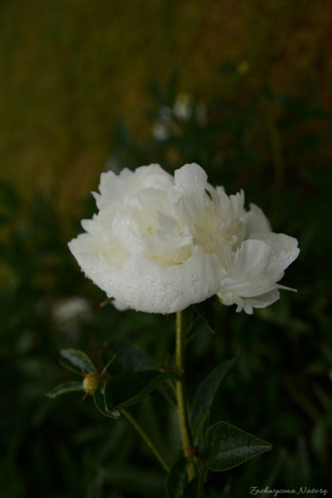 Piwonia - cesarzowa ogrodu (7)