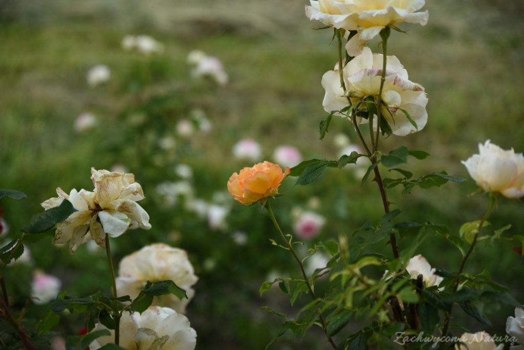 Różany zawrót głowy (10)