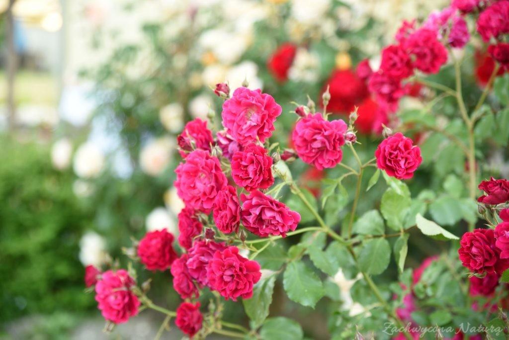 Różany zawrót głowy (12)