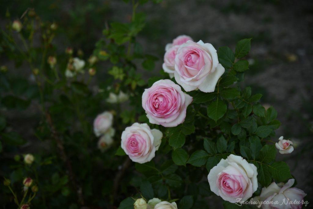 Różany zawrót głowy (13)