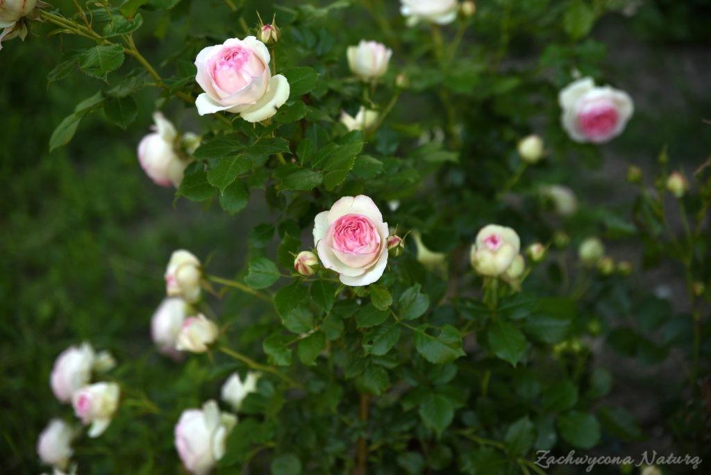 Różany zawrót głowy (14)