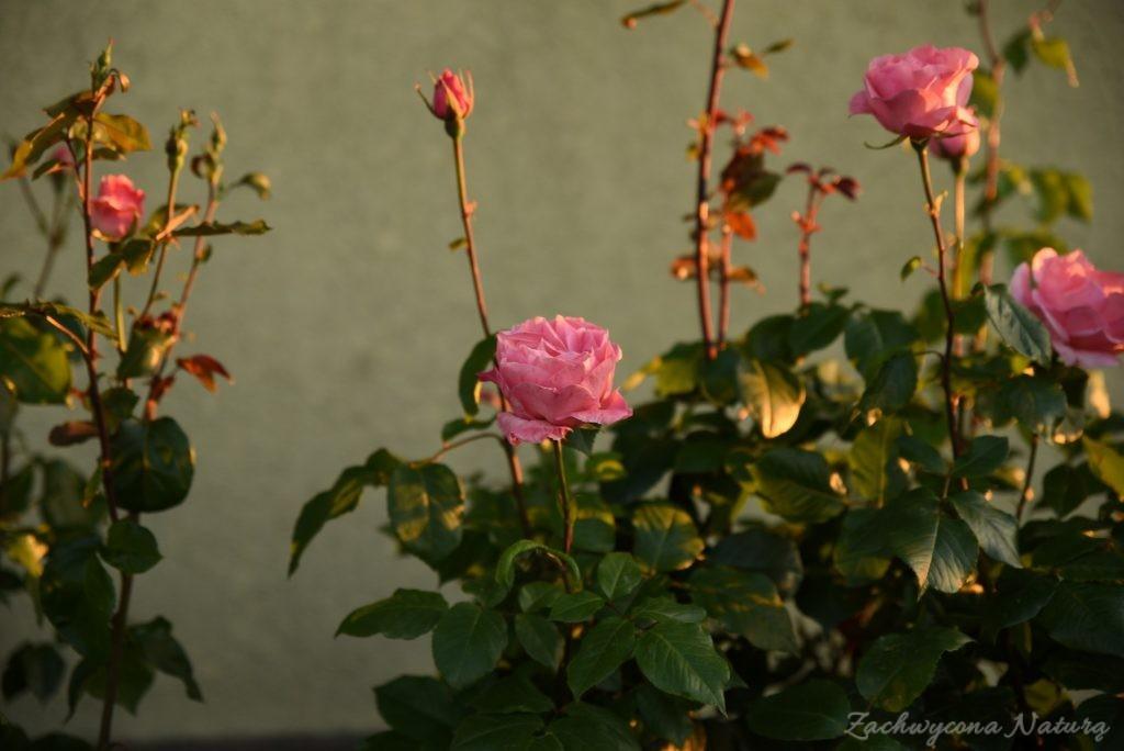 Różany zawrót głowy (17)
