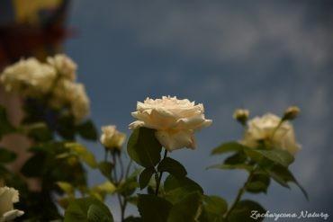 Różany zawrót głowy (19)