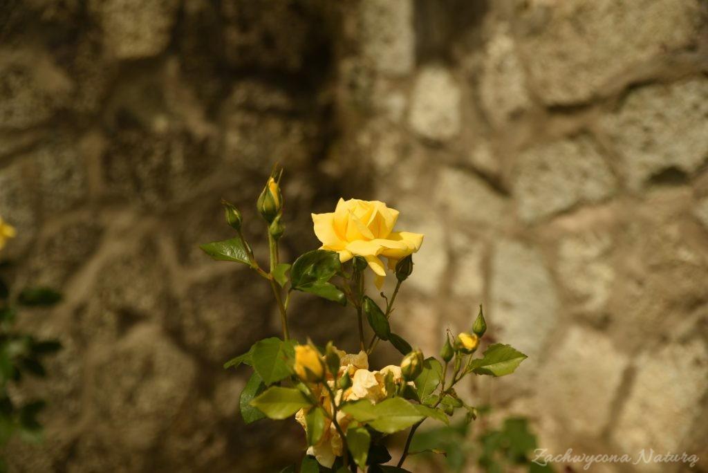 Różany zawrót głowy (20)
