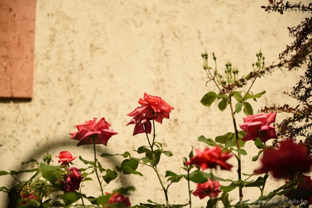 Różany zawrót głowy (21)