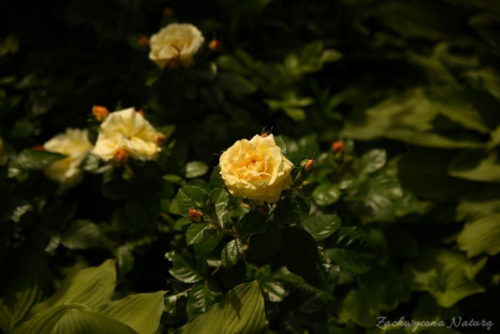 Różany zawrót głowy (25)