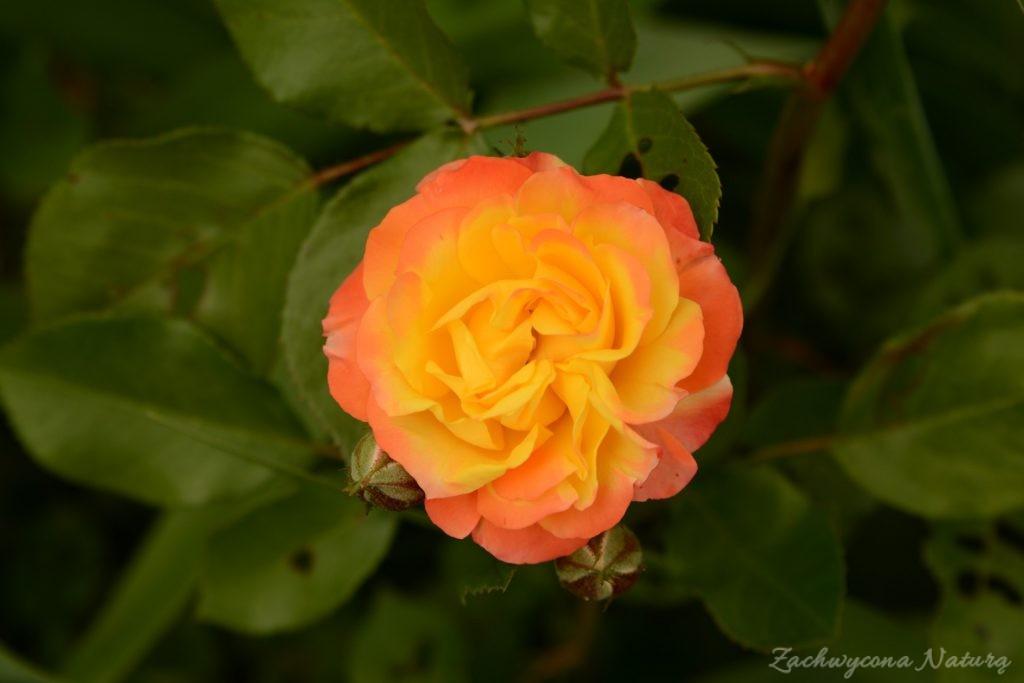 Różany zawrót głowy (27)