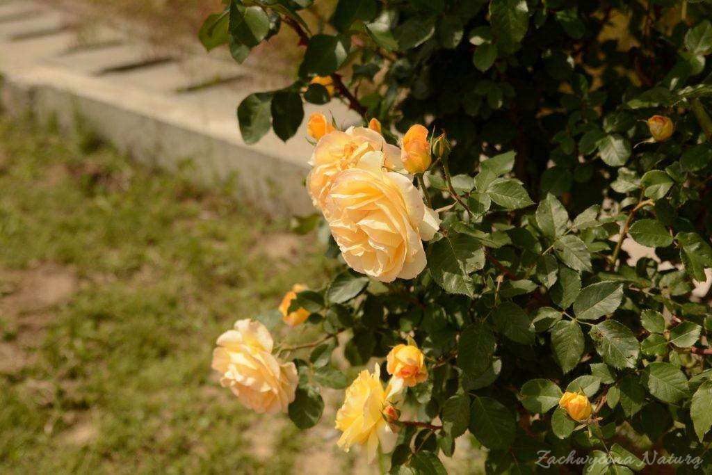 Różany zawrót głowy (28)
