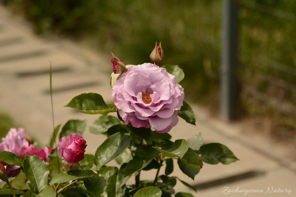 Różany zawrót głowy (29)