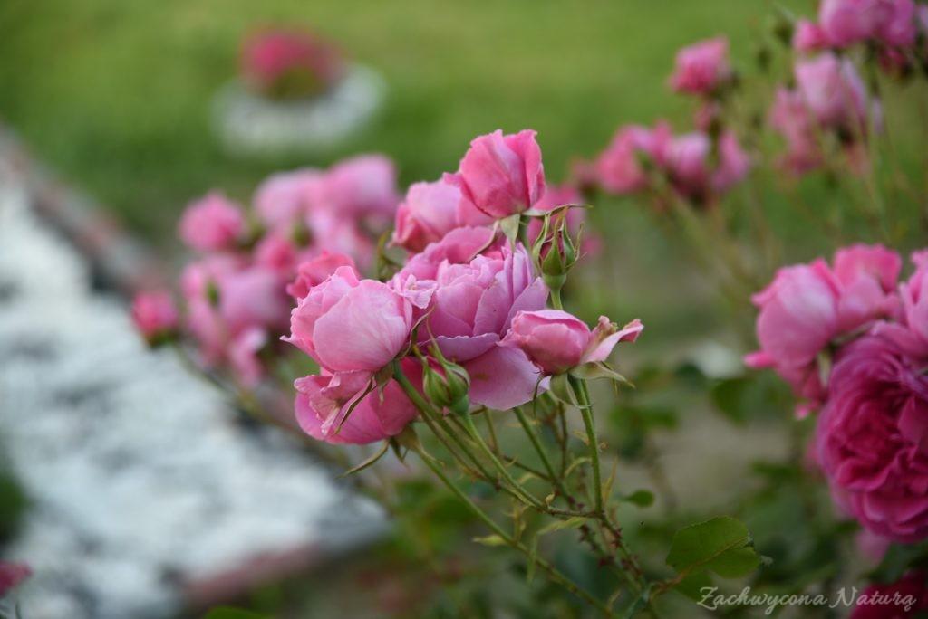 Różany zawrót głowy (3)