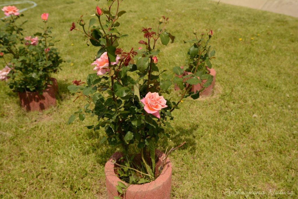 Różany zawrót głowy (31)