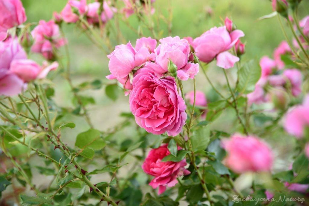 Różany zawrót głowy (4)