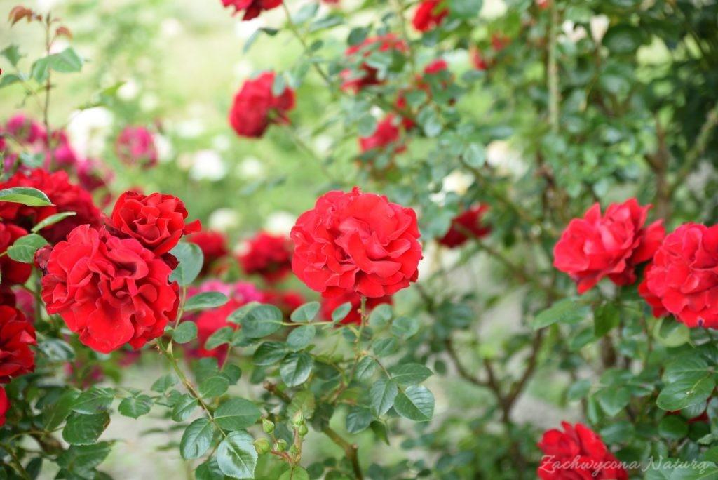 Różany zawrót głowy (5)