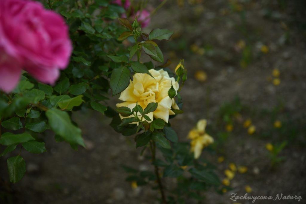 Różany zawrót głowy (6)