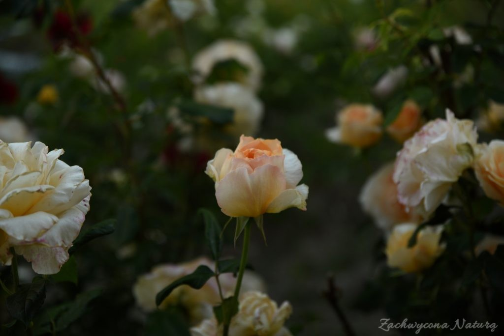 Różany zawrót głowy (7)