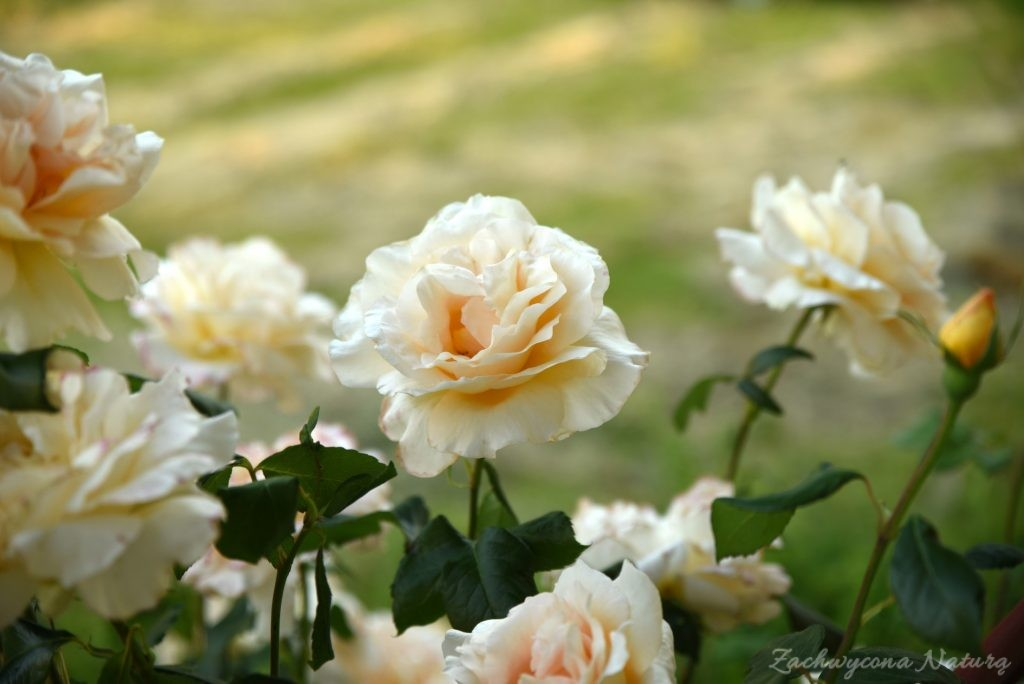 Różany zawrót głowy (9)