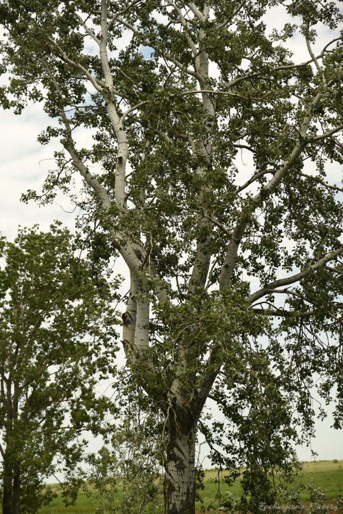 Topola biała (białodrzew, Populus alba)