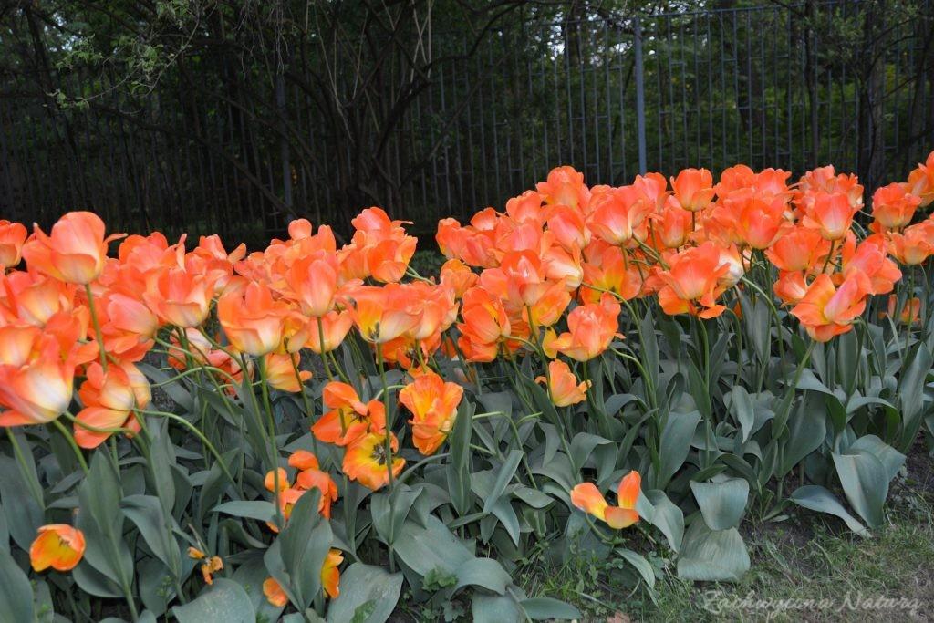Tulipanowy zawrót głowy (1)