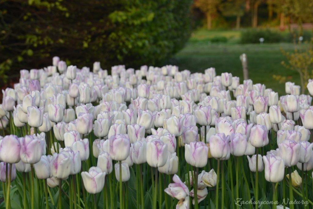 Tulipanowy zawrót głowy (11)
