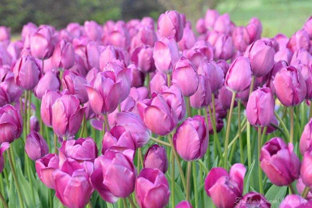 Tulipanowy zawrót głowy (12)