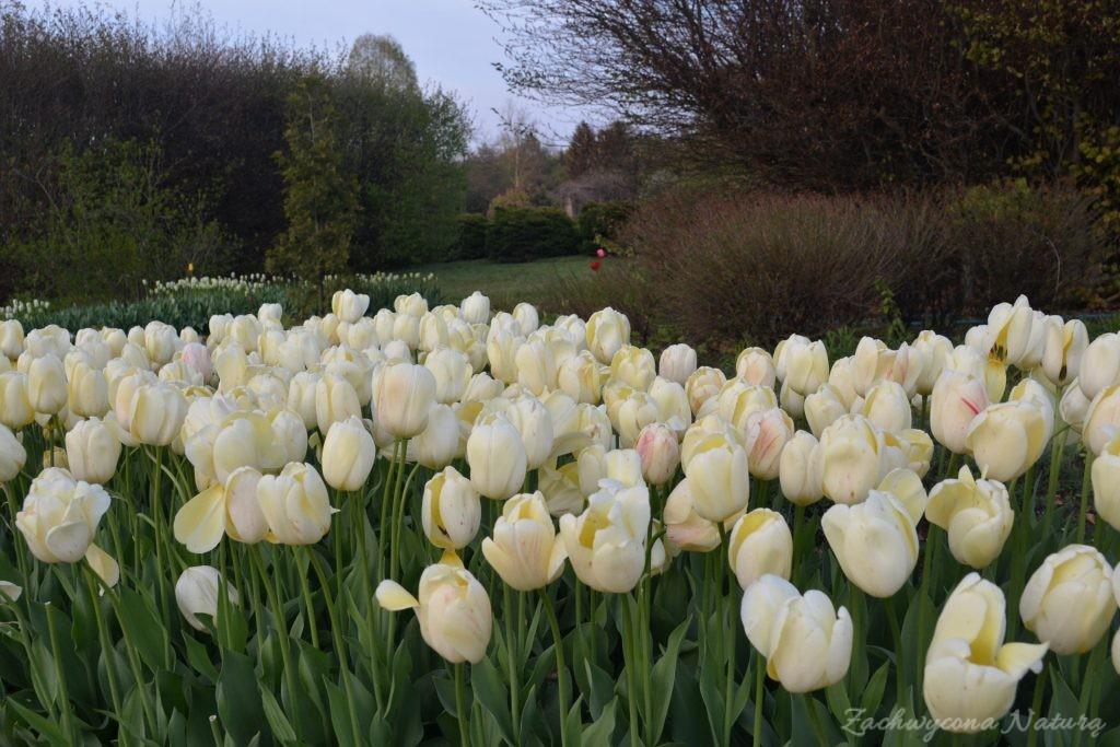 Tulipanowy zawrót głowy (14)