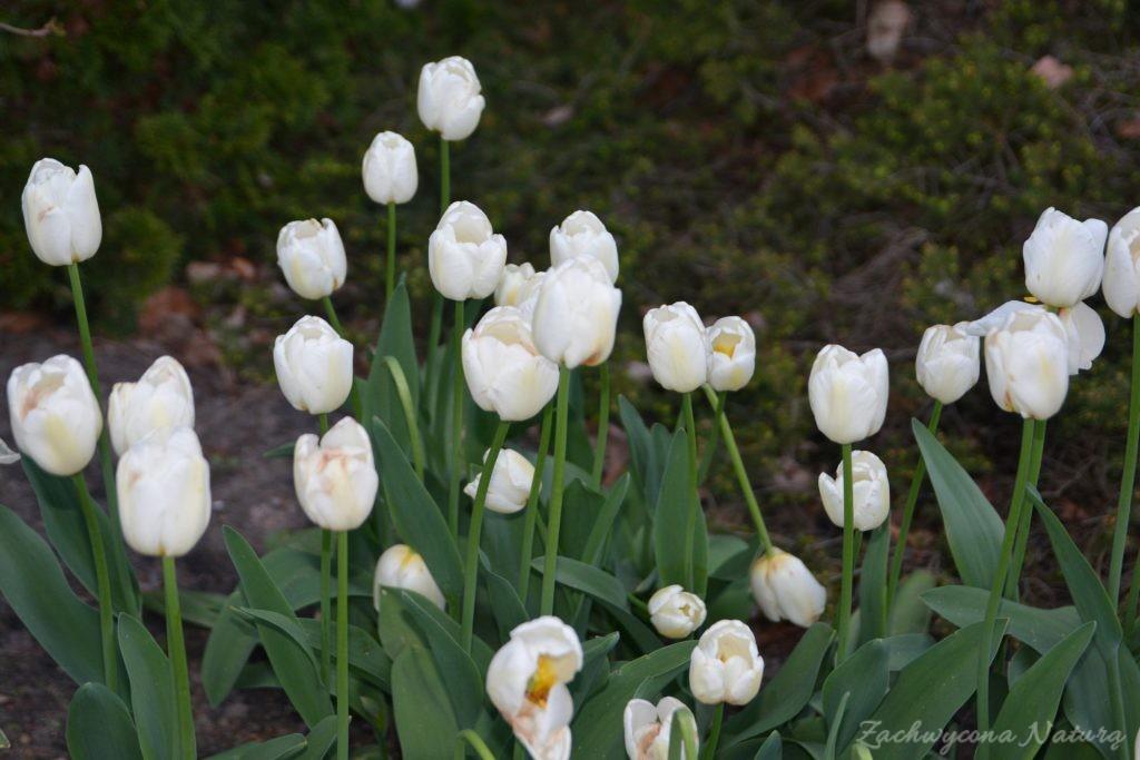 Tulipanowy zawrót głowy (17)