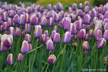Tulipanowy zawrót głowy (18)