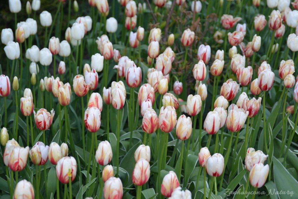 Tulipanowy zawrót głowy (19)