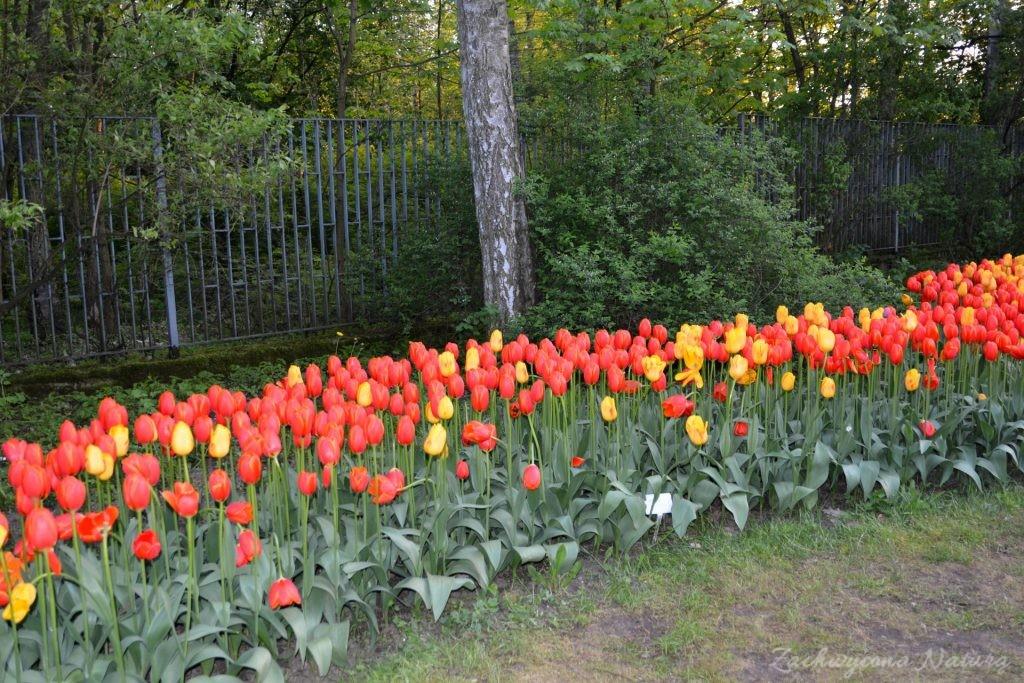 Tulipanowy zawrót głowy (2)