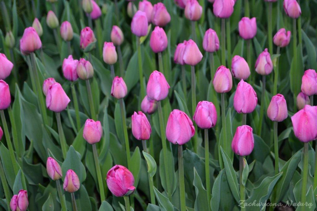 Tulipanowy zawrót głowy (21)