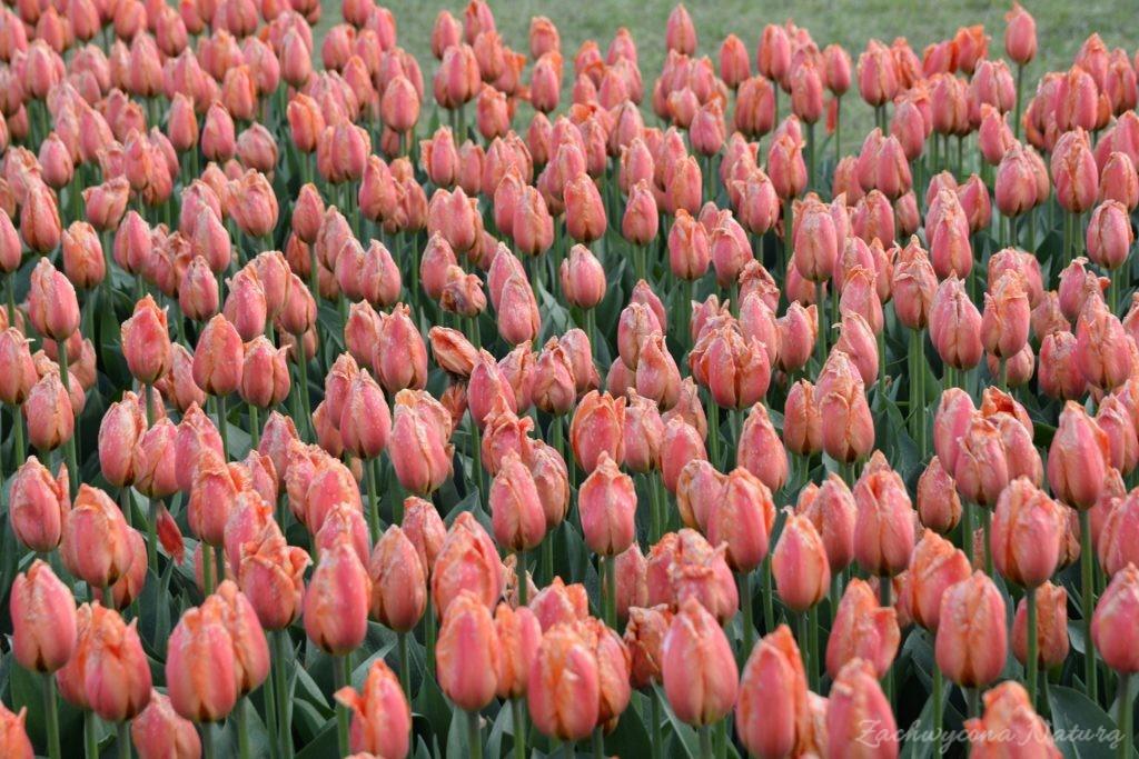 Tulipanowy zawrót głowy (4)