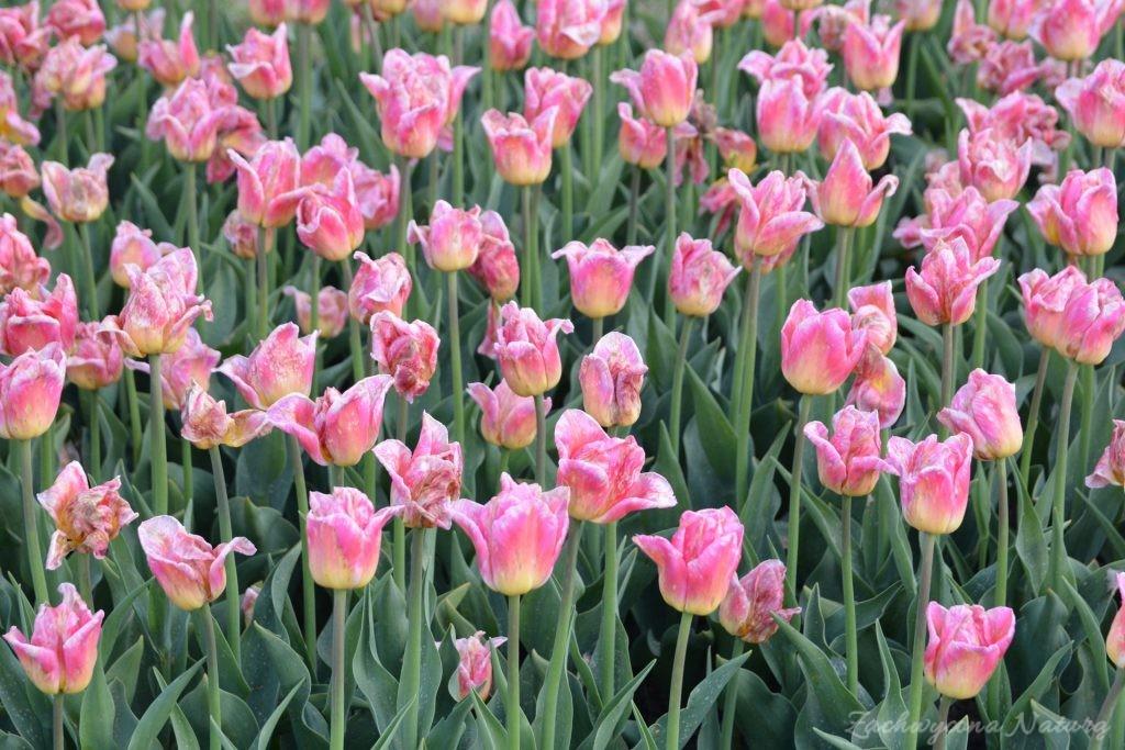 Tulipanowy zawrót głowy (5)