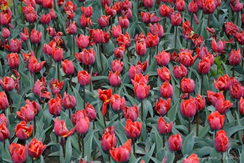Tulipanowy zawrót głowy (6)