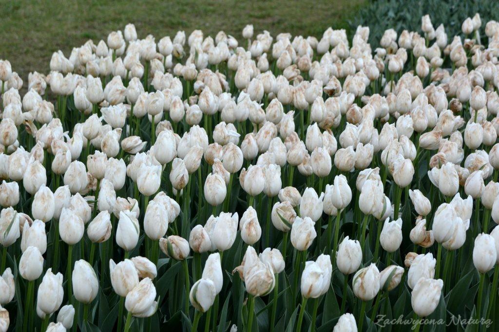 Tulipanowy zawrót głowy (7)