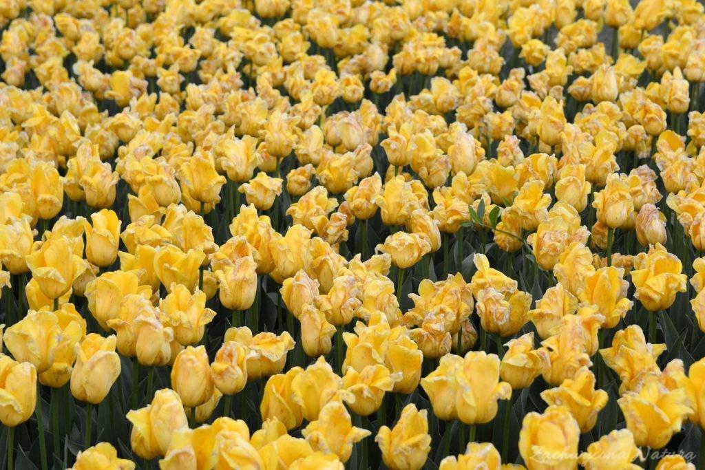 Tulipanowy zawrót głowy (8)